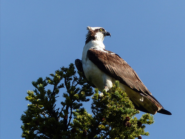 Wind-blown Osprey