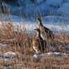 Sharp-tailed Grouse - not my main photo!