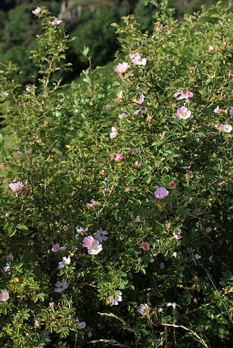 Rosa rubiginosa (2)