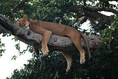Uganda, Lioness Sleeping on a Tree