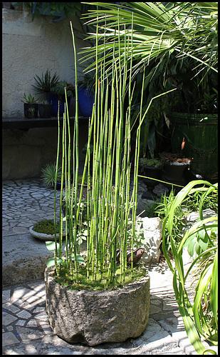 Equisetum japonicum (2)