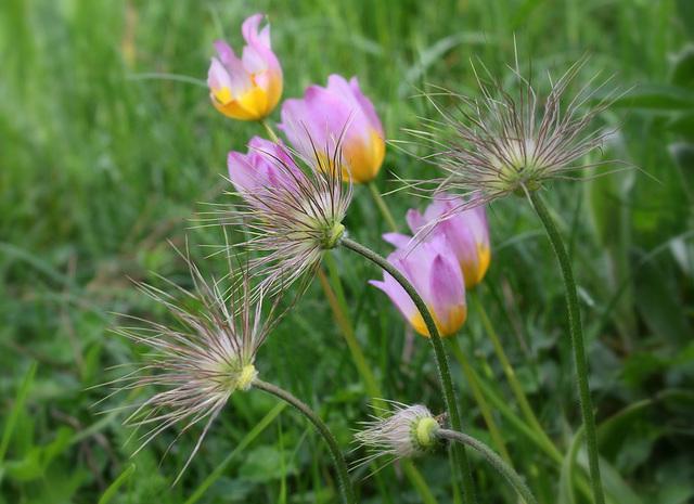 Anémone pulsatille et tulipes bakeri