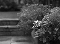 Hydrangea in the rain
