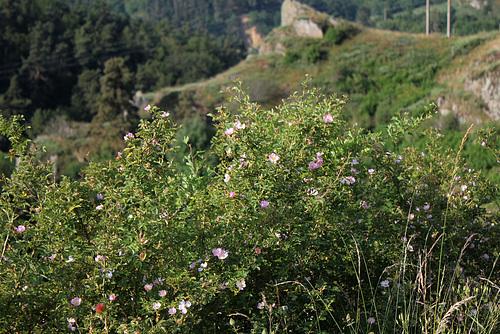 Rosa rubiginosa (3)