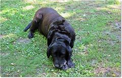 Un gentil labrador , pour notre amie Betty .