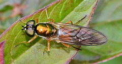 Soldier Fly. Chloromyia formosa
