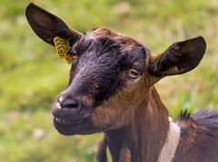 cabra sonriente