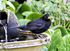 Bath time for the Blackbird