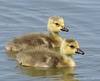 Young Canada Goose Goslings