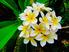 Frangipani... Captured in Isle de Pins... New Caledonia