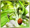 Marienkäfer (Coccinellidae)... ©UdoSm