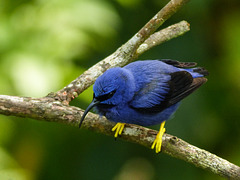 Purple Honeycreeper male, Asa Wright, Trinidad