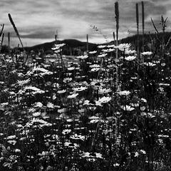 walking through a field of wild daisies
