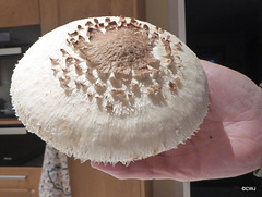 A crop of Parasol mushrooms (Macrolepiota) are sprouting in profusion under the hazel trees by the pond