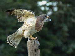 Swainson's Hawk take-off