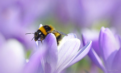 Bumble Bee looking for Nectar...