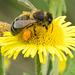 Feeding Bee