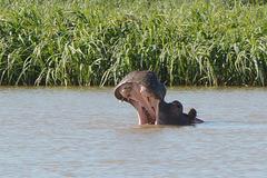 Ethiopia, Tana Lake, Hippopotamus Is Opening Its Jaws
