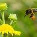 Flighty Bee