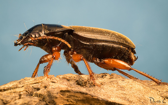 Beetle - Side Profile