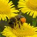 Bulging pollen Baskets