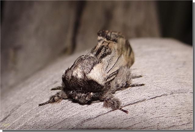 Harpyia milhauseri mâle