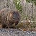 Wandering wombat