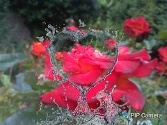 Rose au jardin avec Pipcamera
