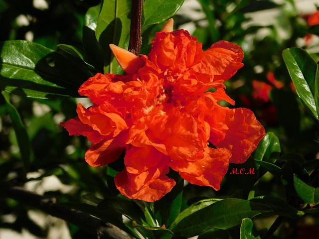 Fleur de grenadier-fleurs************