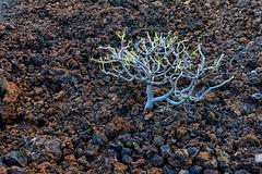 El Hierro - Flora