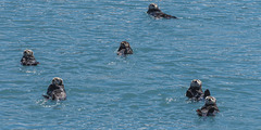 Alaska Otters