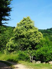 Le châtaignier /  The chestnut tree