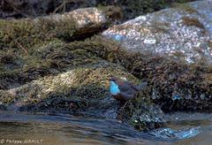 Cincle plongeur (Cinclus cinclus - White-throated Dipper)