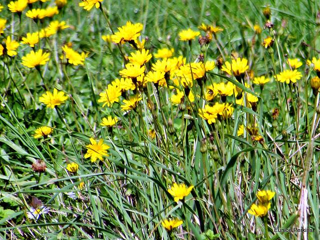 Flowers Of the Fields