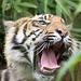 Tiger cub 1