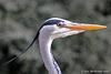 Great Blue Heron Profile Explore  415 copy