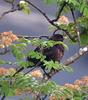 Male Blackbird (Turdus merula).