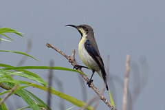 20170801-0101 Purple sunbird, male