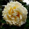 ROSE JAUNE / YELLOW ROSE / GELBE ROSE