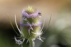 Fleurs de cardère