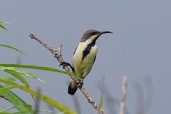 20170801-0104 Purple sunbird, male