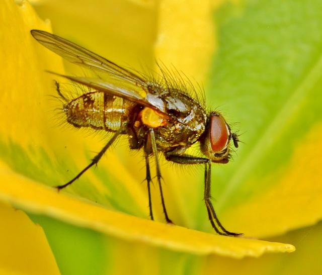 Fly. Tachinidae family?