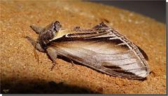 Pheosia gnoma mâle.