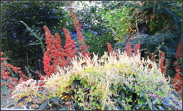 Pyracantha---Polygonum-(Berrie-Flowers)