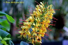 Hedychium Gardnerianum. (Kahili Ginger )  132 copy