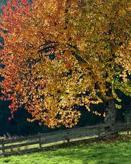 Kirschbaum am späten Nachmittag - 2014-10-17- DSC5718