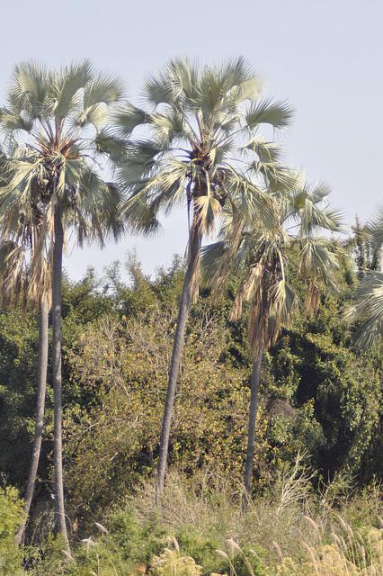 Palmoj sur insuleto. Okavango-Delto