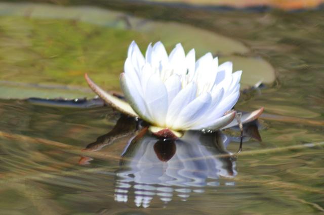 Nimfeo. Okavango-Delto
