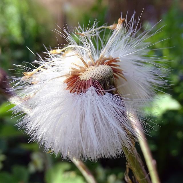 Seedhead of Tussilago farfara.  Coltsfoot.