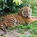 Tiger cub. (1)